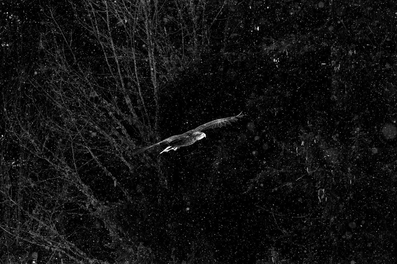 Jacques Olivier fait voler Fletcher (à queue blanche) en montagne sur de plus longues distances, sous les yeux ébahis de skieurs. Au-delà de la sensibilisation Jacques Olivier souhaite donner une chance aux oiseaux nés en captivité en  volière de devenir capables d'évoluer dans les airs en vue d'une réintroduction (non possible en France pour l'instant) . Son apprentissage du vol en plusieurs étapes leur permet de etrouver une totale indépendance après quelques mois.